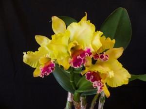 Un radiante ramo de orquídeas amarillas