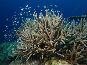 Peces junto a un coral cuerno de ciervo (acropora cervicornis)