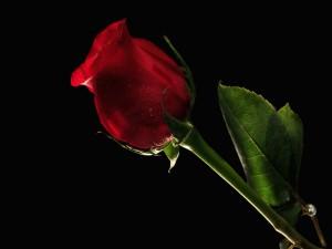 Pimpollo de rosa rojo con gotas de rocío