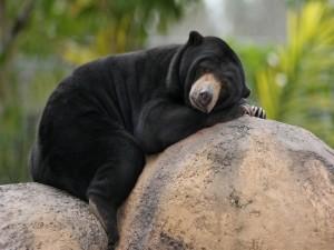 Oso adormilado sobre unas rocas