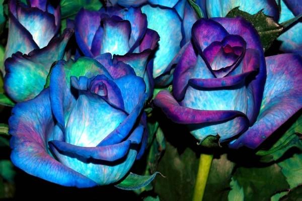 Hermosas rosas con pétalos azules y púrpuras