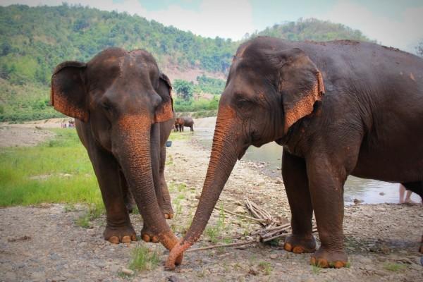Elefantes asiáticos en la orilla de un río