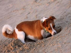 Perro cavando un hoyo en la arena