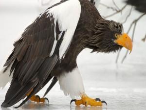 Un águila caminando sobre el hielo