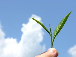 Un brote verde de té