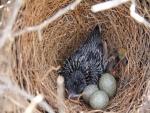 Pájaro y huevos en un nido