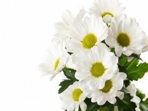Bello ramo de margaritas blancas