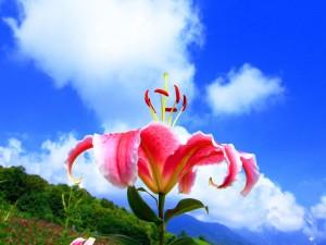 Hermoso lilium bajo un cielo azul con nubes blancas