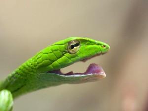 Serpiente verde con la boca abierta