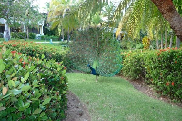 Pavo real en un jardín