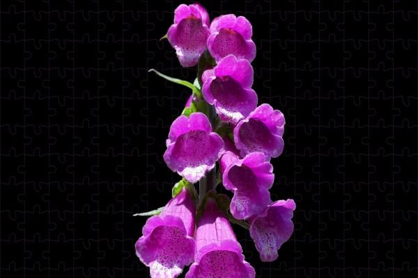 Flores Color Fucsia En Fondo Negro 62116