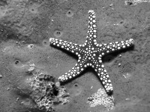 Estrella de mar en blanco y negro