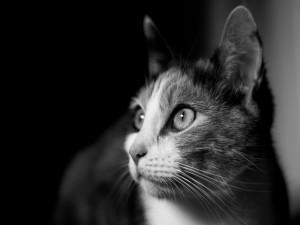 Imagen en blanco y negro de un gato