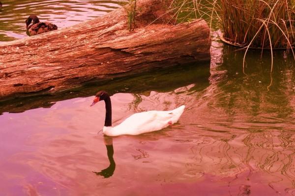 Cisne blanco y negro