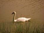 Cisne sobre el agua