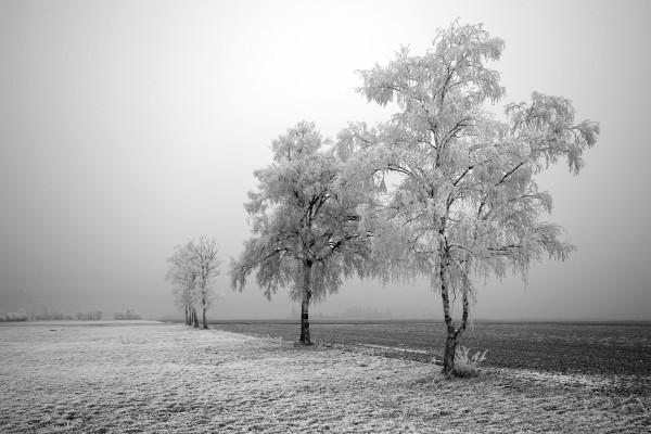 Árboles escarchados