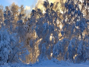 Sol del invierno tras los árboles blancos