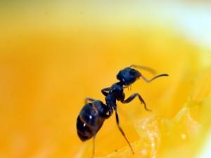 Hormiga caminando