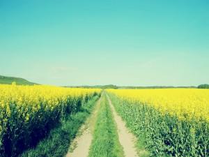 Camino entre las flores amarillas de un campo