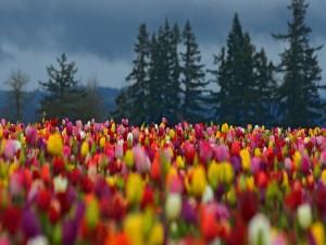 Campo de tulipanes