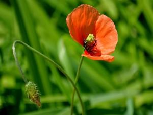 Amapola florecida