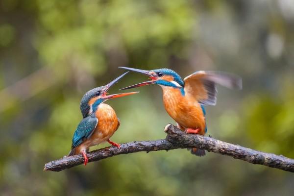 Dos pájaros Martín Pescador peleando