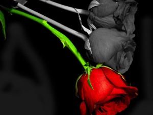 Dos rosas en blanco y negro y una de color rojo