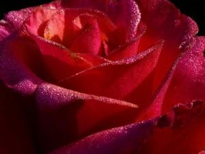 Gotas de rocío en una magnífica rosa