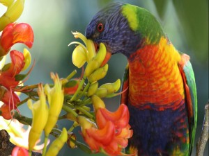 Lori arcoíris picoteando una flor