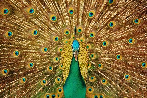 Un pavo real macho mostrando sus plumas