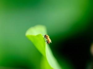 Abeja sobre una hoja verde