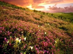 Amanecer sobre un campo de flores