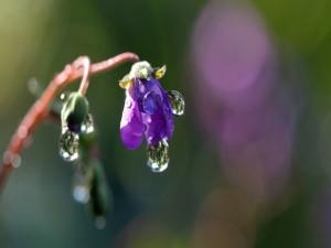 Gotas de agua sobre una pequeña flor morada