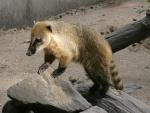 Coatí de cola anillada en un zoo