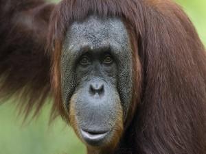 La mirada de un orangután