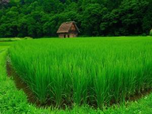 Cabaña en un arrozal