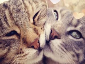 Beso entre dos gatos