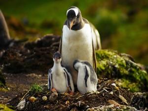 Pingüino madre con sus dos crías