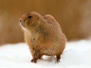 Marmota sobre una pradera nevada