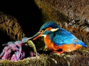 Martín pescador malaquita alimentando a sus crías