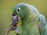 Loro verde real comiendo de una rama