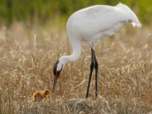 Grulla blanca cuidando a su polluelo