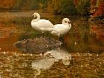 Dos cisnes blancos reposando en un lago otoñal
