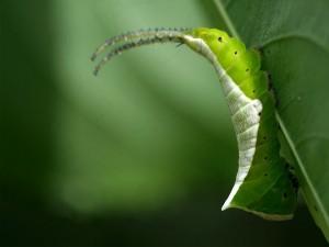 Una oruga desplazándose sobre una hoja verde