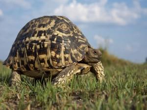 Gran tortuga caminando tranquilamente por una planicie