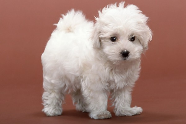 Perro blanco de la raza Bichon Frisé