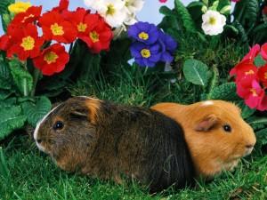 Dos cobayas junto a unas flores