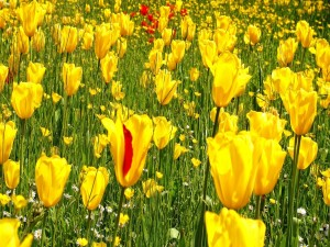 Tulipanes amarillos entre flores silvestres