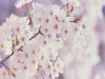 Ramas cubiertas de pequeñas flores blancas