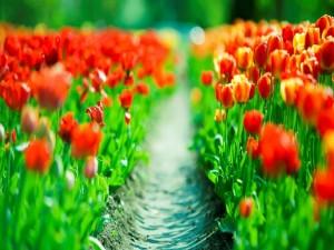 Campo de tulipanes iluminado por el sol